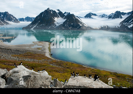 Little auk colony, Alle alle, Magdalenefjord, Spitsbergen, Svalbard, Arctic - Stock Photo