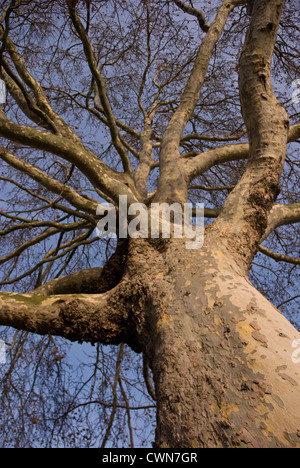 Platanus acerifolia, London plane - Stock Photo