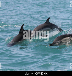 Delphinus delphis- a small group of short-beaked common dolphins breaching in he Irish Atlantic near Baltimore County - Stock Photo