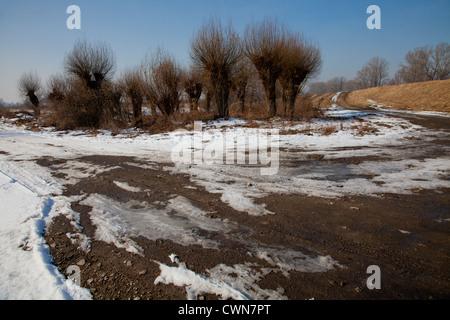 Winter wild polish landscape with willows Salix  and snow in Kampinoski Kampinos National Park, Masovia, Poland, - Stock Photo