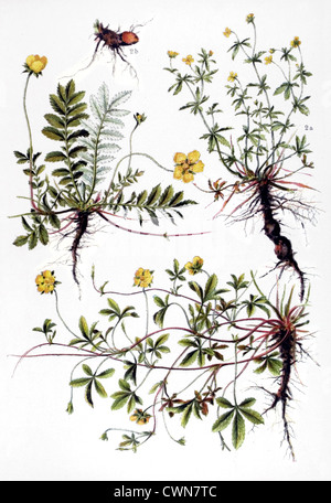 Cinquefoil and other herbs - Stock Photo