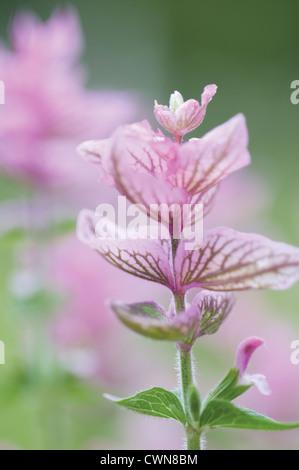 Salvia viridis 'Pink Sunday, Sage, Clary sage - Stock Photo