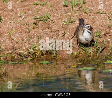 Lark Sparrow, Chondestes grammacus - Stock Photo