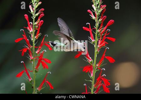 A Ruby-throated Hummingbird, Archilochus colubris flying to a Cardinal flower, Lobelia cardinalis. Female or immature - Stock Photo