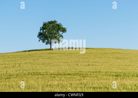 An oak tree and a Bench (furniture) standing on a hill in a wheat field in summer. - Stock Photo