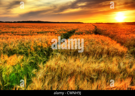 Breath talking landscape of colorful sunset over a ripening cereal field, wheat or barley, hdr rendering. - Stock Photo