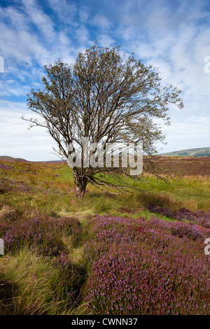 Autumn Flowering Heather on the Redmire and Grinton Moors to Reeth in the North Yorkshire Dales National Park, Richmondshire, - Stock Photo