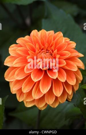 Dahlia 'Wigo Super' growing in an herbaceous border. - Stock Photo