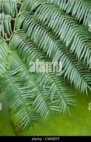Tropical fern above algae covered pond - Stock Photo
