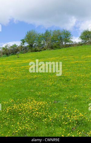 Buttercups wildflowers, Ranunculus, in meadow slope at Swinbrook in the Cotswolds, Oxfordshire, UK - Stock Photo