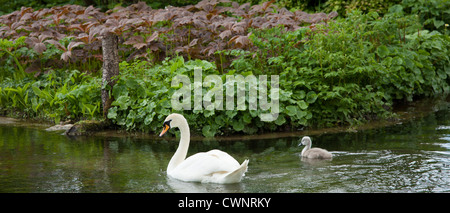Female mute swan, Cygnus olor, and her cygnet in Southrop in the Cotswolds, Gloucestershire, UK - Stock Photo
