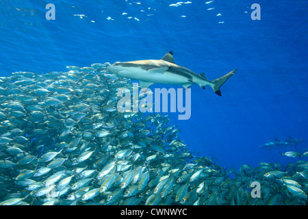 A blacktip reef shark, Carcharhinus melanopterus, swimming above a school of fish with sunbeams slanting through - Stock Photo