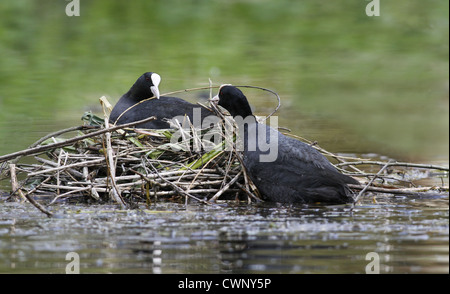 Common Coot (Fulica atra) adult pair, nest building on lake, Leicestershire, England, may - Stock Photo
