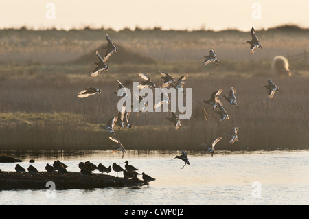Black-tailed Godwit (Limosa limosa) flock, in flight, landing on roost at sunrise, Oare Marshes, Faversham, Kent, - Stock Photo