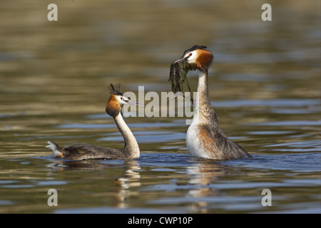 Great Crested Grebe (Podiceps cristatus) adult pair, with weed offering, in courtship display on water, River Thames, - Stock Photo