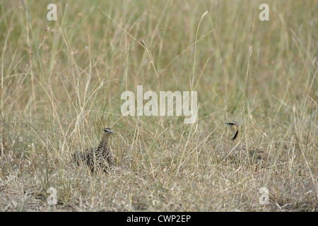 Yellow-throated Sandgrouse (Pterocles gutturalis) couple laying on the ground Masai Mara - Kenya - East Africa - Stock Photo