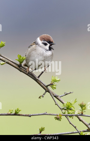 Eurasian Tree Sparrow (Passer montanus) adult, calling, perched on twigs, Warwickshire, England, april - Stock Photo