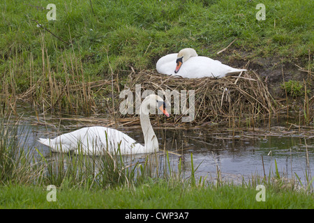 Mute Swan (Cygnus olor) adult pair, male swimming, female sitting on nest at dyke bank, incubating eggs, Suffolk, - Stock Photo