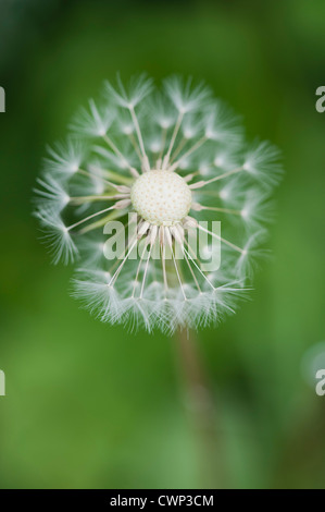 Dandelion seedhead - Stock Photo