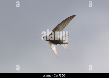 Common Swift (Apus apus) adult, in flight, catching insect, Suffolk, England, june - Stock Photo