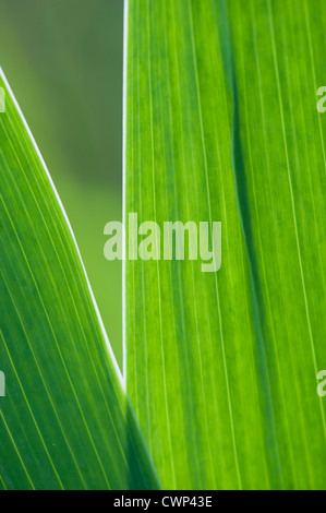 Iris leaves, close-up - Stock Photo