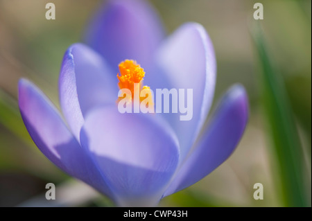 Crocus, close-up - Stock Photo