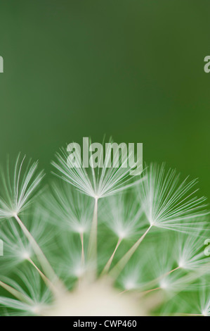 Dandelion seedhead, close-up - Stock Photo