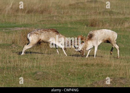 Fallow Deer (Dama dama) two bucks, fighting during rutting season, Leicestershire, England, october - Stock Photo