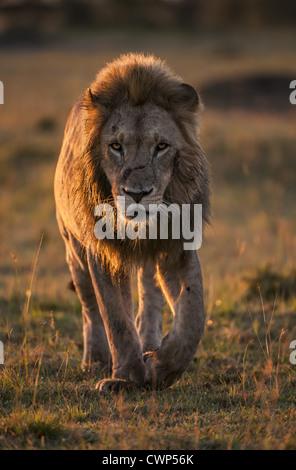Lion (Panthera leo) adult male, walking on grassland plains at sunrise, Masai Mara Game Reserve, Kenya, july - Stock Photo