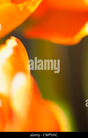 Ranunculus flower petals, extreme close-up - Stock Photo