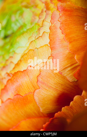 Ranunculus flower head, extreme close-up - Stock Photo