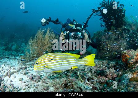 Ribboned Sweetlips (Plectorhinchus polytaenia) adult, swimming near diver with underwater camera equipment, Dampier - Stock Photo