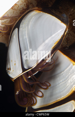 Common Goose Barnacle (Lepas anatifera) adults, with tentacles extended, attached to plastic debris, Dorset, England, - Stock Photo