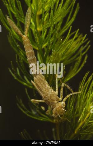 Blue-tailed Damselfly (Ischnura elegans) nymph, clinging to pondweed, underwater, Wat Tyler Country Park, Essex, - Stock Photo