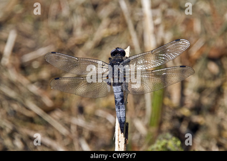 Mature male Scarce Chaser, The dark markings on the power blue abdomen are mating scars, Waveney valley August. - Stock Photo