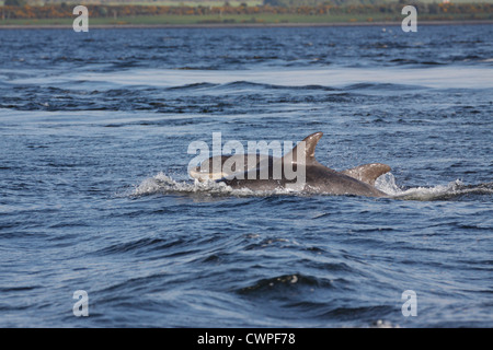 Two Bottlenose Dolphins (Tursiops truncatus) surfacing in the Moray Firth, Chanonry Point, Scotland, UK - Stock Photo