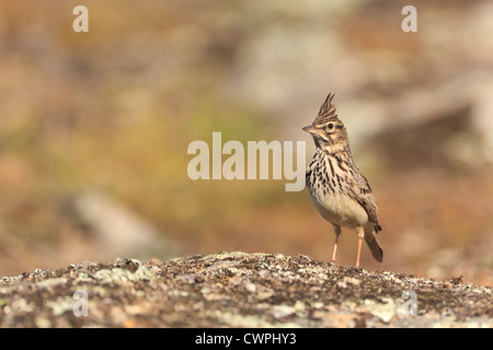 Crested Lark (Galerida cristata) perched on a stone. Extremadura. Spain. - Stock Photo