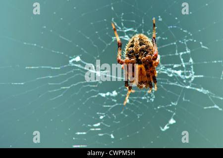 European garden spider - Stock Photo