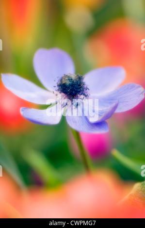 Anemone coronaria, Anemone - Stock Photo