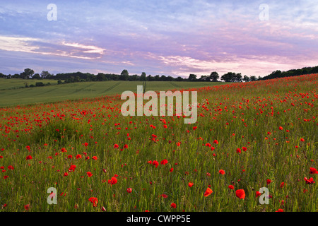 Poppy field in Hampshire taken at sunset on a summers evening. - Stock Photo