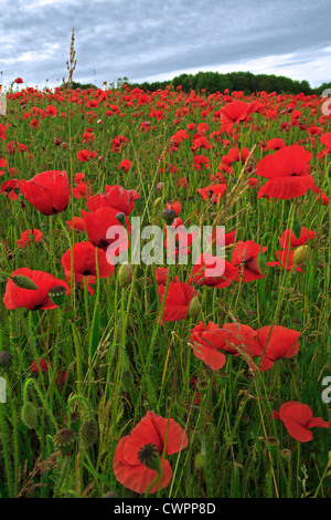 Close up of Poppies in a Hampshire poppy field taken at sunset on a summers evening. - Stock Photo