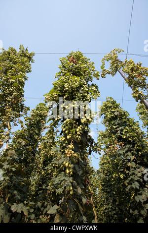 Hop bines growing in Kent - Stock Photo