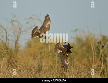 Marsh Harriers together Circus aeruginosus - Stock Photo