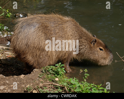 capybara Hydrochoerus hydrochaeris - Stock Photo