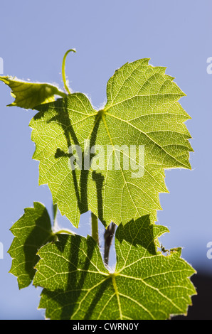 backlit green grape leaves and vine with blue sky - Stock Photo