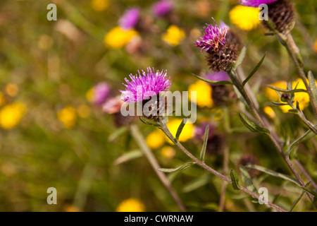 Wild Thistles and other wild flowers growing on cliff tops of Cornwall England UK. - Stock Photo