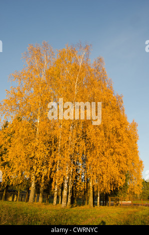 Yellow birch trees in autumn park near rusty metal fence on background of blue sky. - Stock Photo