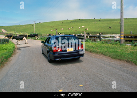 Point Reyes National Seashore, California, USA - Car waits while Holstein Cows cross Road at Historic 'A' Ranch - Stock Photo