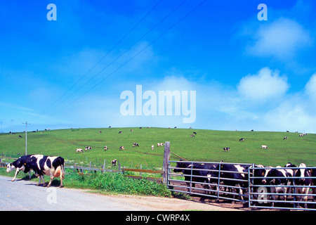 Point Reyes National Seashore, California, USA - Holstein Cows grazing in a Corral and on a Hill / Pasture at Historic - Stock Photo