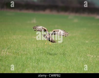 Hen Harrier female in flight scanning for prey. - Stock Photo